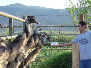 Feed the Emus at Ostrichland, Solvang