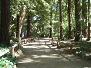 Redwood groves in the Santa Barbara Botanical Garden
