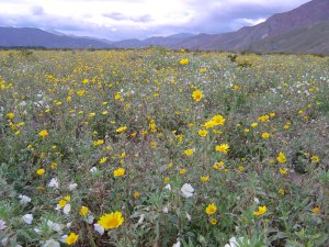 A usually dry meadow was awash with spring wildflowers at Anza-Borrego (March 2005)