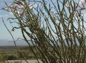 Ocotillo in Anza-Borrego (March 2005)