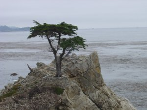 The Lone Cypress, Monterey