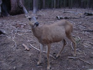 Deer can be spotted in early evening at Mariposa Grove.