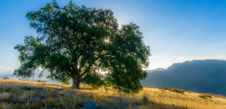 lone oak tree living on the hillside in Santa Clarita Valley