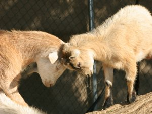 Lombardi Ranch Petting Zoo, Saugus (seasonal)